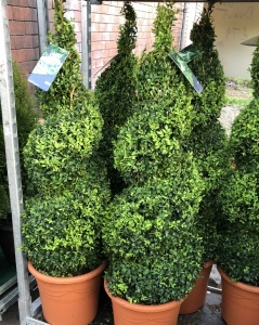 Medium-Large Buxus Spiral