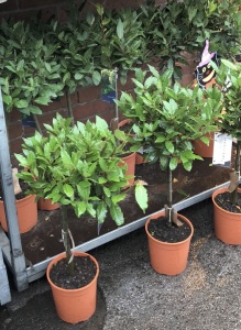 Small Bay Tree £25 each or 2 for £40