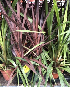 Small Cordyline
