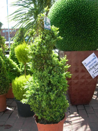 Medium Spiral Buxus