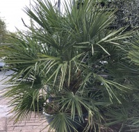 Chamaerops Humilis (Fan Palm) - Large