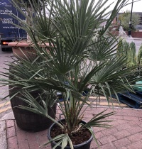 Chamaerops Humilis (Fan Palm) - Small